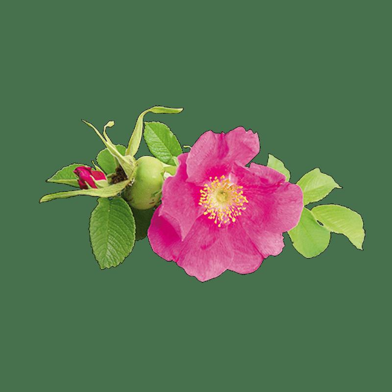 Huile de rose musquée