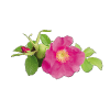 rose musquée